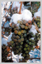 vinification vin de glace